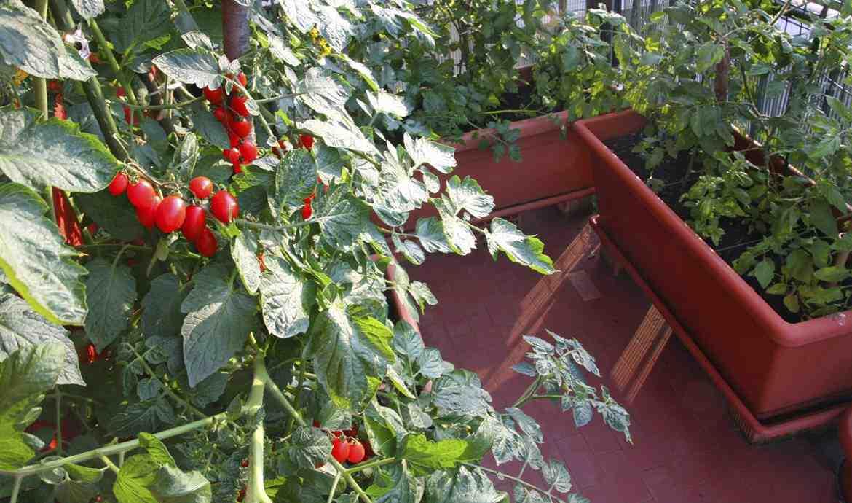 Comment avoir beaucoup de tomates sur un pied ?