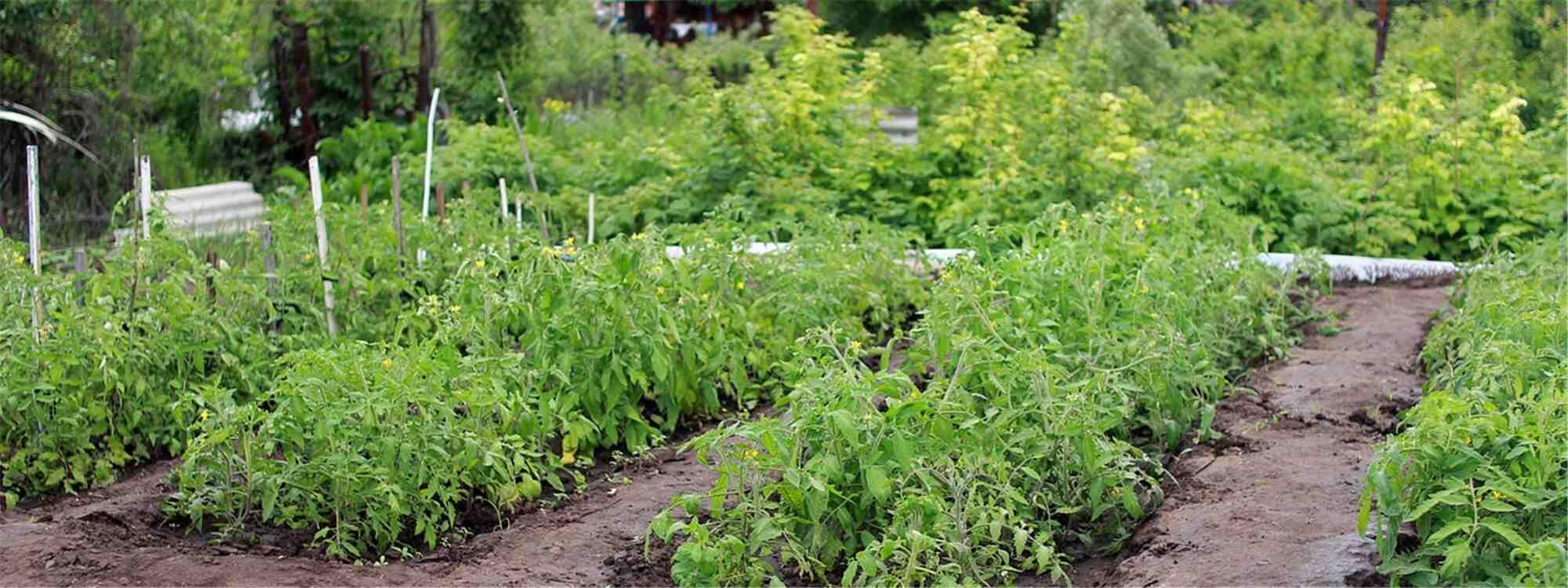 Comment réussir la culture des tomates ?